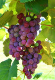 Plump Grapes on the Vine. Table grapes on the vine ready for harvest Stock Images