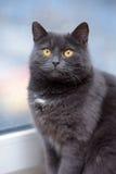 Plump gray British cat Royalty Free Stock Images
