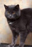 Plump gray British cat Stock Photo