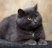 Plump gray British cat Royalty Free Stock Photo