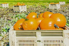 Plump Pumpkin Harvest Royalty Free Stock Image