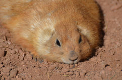 Plump Resting Prairie Dog Laying Down Royalty Free Stock Photos