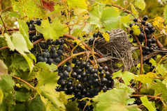 Plump Ripe Grapes Royalty Free Stock Photography
