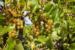 Plump Ripe White Grapes Stock Photos