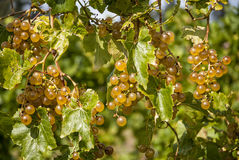 Plump Ripe White Grapes Royalty Free Stock Image