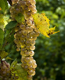 Plump Ripe White Grapes Stock Images