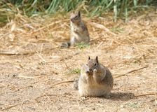 Plump squirrel eating stock images