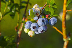 Plump, Wet, Blueberries Ripening in Summer Stock Images