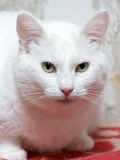 Plump white cat Royalty Free Stock Photo