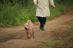 Big fat woman walking in the park with a Shar-Pei royalty free stock photo
