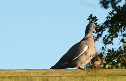 Plump wood pigeon on a wooden fence Stock Photography