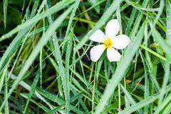 Plumplain flower fall on green gras Stock Photography