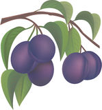 Plums. Juicy ripe plums on a branch with leaflets Royalty Free Stock Photos