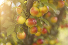 Plums. A beautiful ripe yellow plums on branch royalty free stock photos