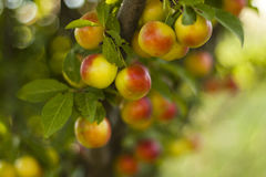 Plums. A beautiful ripe yellow plums on branch Royalty Free Stock Images