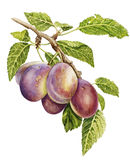 Plums vector illustration