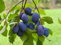 Free Plums Royalty Free Stock Image - 30064966