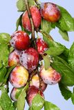 Plums. Fresh plums on the branch Stock Images