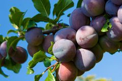 Plums. Natural fresh plum on tree Stock Photography