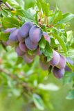Plums. Bunch of plums on a tree branch Stock Photo