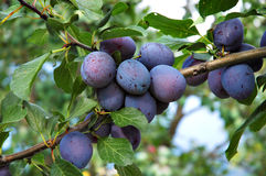 Plums 7 stock photography