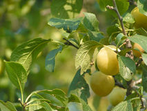 Plums. Green Plums in a tree Royalty Free Stock Images