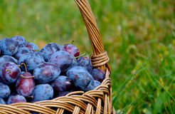 Plums in a basket. Blue plums in a basket royalty free stock photography