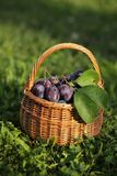 Plums. Basket with plums in the garden stock images