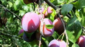 Plums. Beauty plums on the trees. 2015 Stock Photo