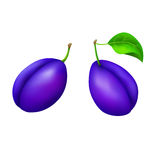 Plums blue fruit isolated illustration. Vector Royalty Free Stock Photos