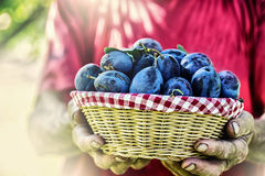 Plums. Blue and violet plums in the garden on wooden table.Farmer holding a basket full of fresh plums Royalty Free Stock Image