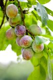 Plums on a branch Royalty Free Stock Photos