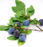 Plums on branch Stock Photo