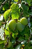 Plums on the branch. Claude plums on the branch royalty free stock photos
