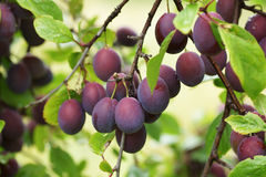 Plums on the branch. Royalty Free Stock Photography