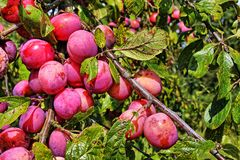 Plums in a branch Royalty Free Stock Photography