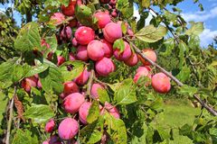 Plums in a branch Royalty Free Stock Photos