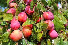 Plums in a branch Stock Photography