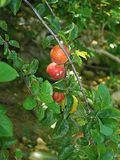 Plums on a branch stock image