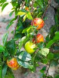 Plums on a branch stock photography