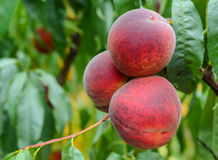 Plums on a branch in orchard Royalty Free Stock Images