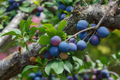 Plums on a branch of plum tree Royalty Free Stock Photography
