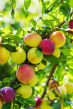 Plums on a branch of plum tree. Selective focus royalty free stock photos