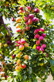 Plums on a branch of plum tree. Selective focus royalty free stock images