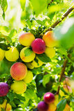 Plums on a branch of plum tree Royalty Free Stock Photo