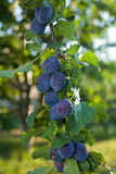 Plums on a Branch. Purple plums on a branch backlight by afternoon sun Royalty Free Stock Photo