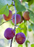 Plums on a branch, small depth of sharpness Stock Photo