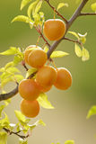 Plums on a branch Royalty Free Stock Photography