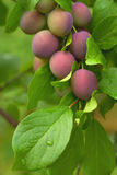 Plums on a brunch Royalty Free Stock Photography