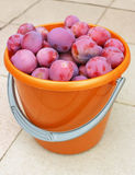Plums in a bucket Stock Images